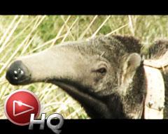 Cómo nació el proyecto de reintroducción del oso hormiguero en el Iberá