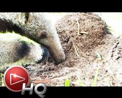 Iberá: Sorprendente caso del osito hormiguero con una mamá de papel y fibra