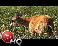Ciervos, carpinchos y aves: Conociendo las especies del Iberá