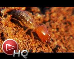 Langostas, termitas y hormigas: Cómo defenderse de las amenazas en el Iberá